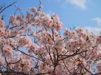青森のお花見キャンプ