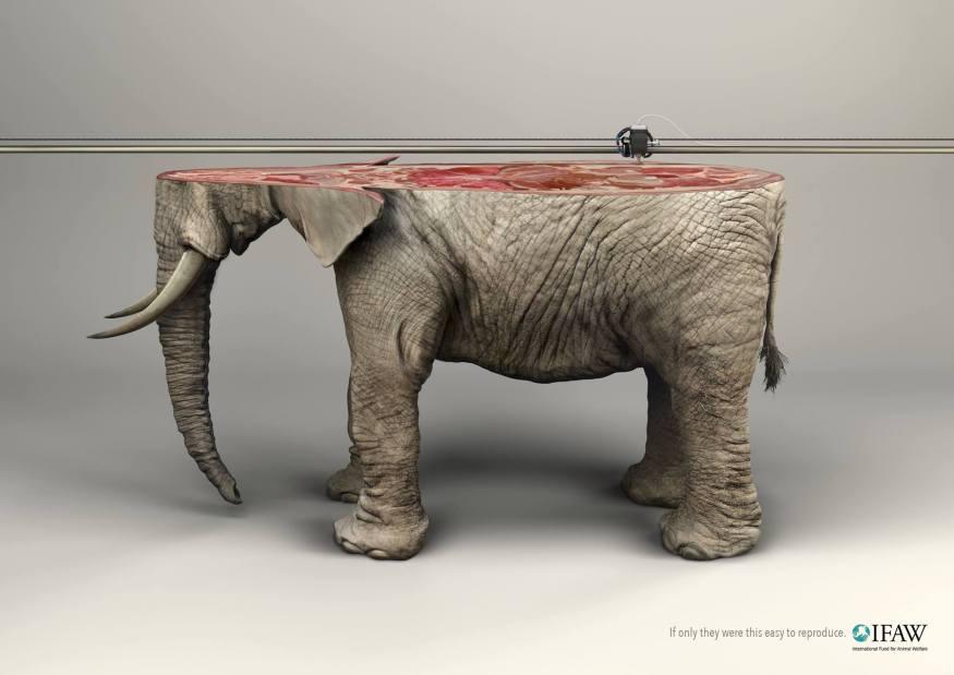 ifaw_elephant_cotw