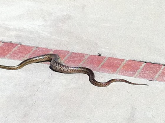 A rattlesnake going home after ingesting a mouse