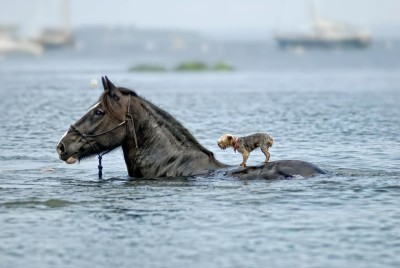horse helping dog