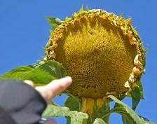 GAltenbergeSunflower