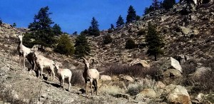 Bighorn sheep at CanyonSide Campground, near Bellvue CO (in the Poudre Canyon).