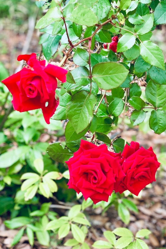 3本の薔薇