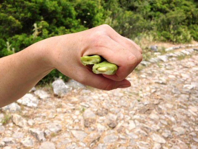 Een net geplukte, verse vrucht ziet er zo uit. Het lijkt wel een beetje op een snijboon. (Chocopasta uit Portugal).