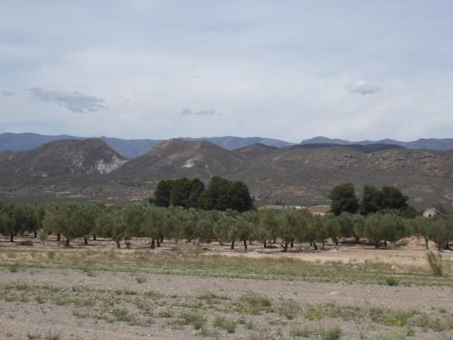 De olijfboomgaarden.