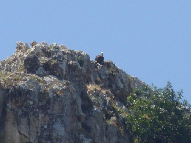 Een van de vele vale gieren bij de kloof.