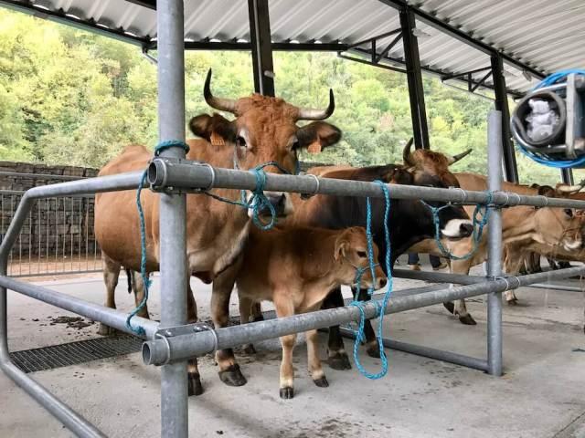 Koeien. We hoorden ze loeien in San Martín de Teverga.