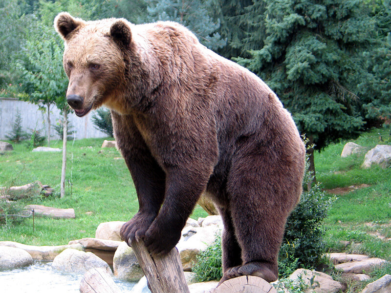 De bruine beer. Foto Wikipedia: De Jean-noël Lafargue - Parc animalier des Pyrénées, France