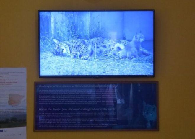 Nr.4. Het informatiecentrum van Doñana, el Acebuche, heeft ook een fokcentrum voor de bedreigde lynx. Op een speciaal scherm kun je meekijken in de 'broedkamer'.