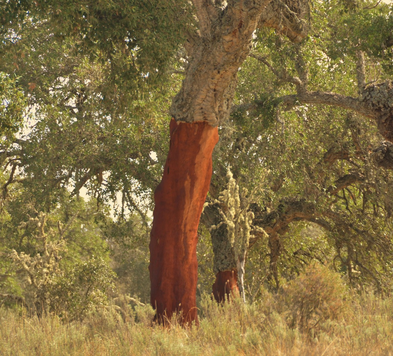 cork-oak-recently-harvested