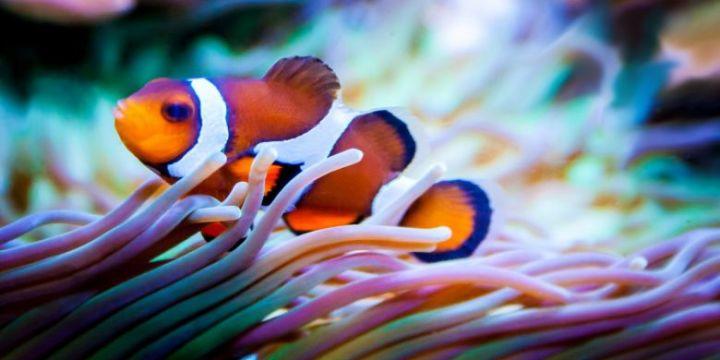 "Ikan Badut Sahabat Baik Makhluk Laut Berbahaya "" Anemon"""