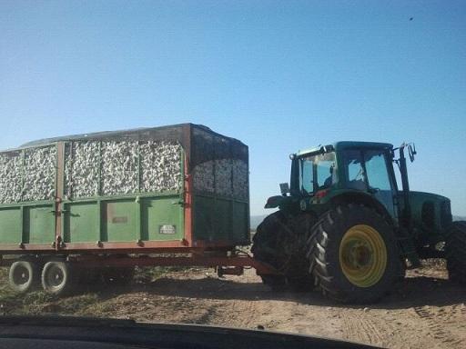 Ha finalizado la campaña de recolección del algodón. Foto: COAG.