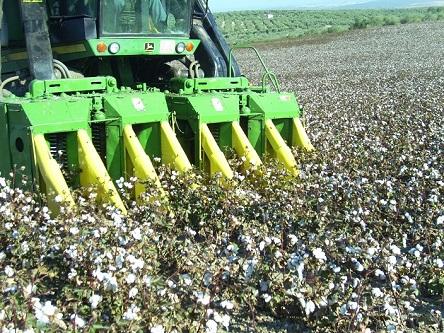 Recolección del algodón en la comarca de Andújar. Foto: COAG.