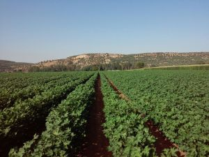 Plantaciones de algodón en la comarca de Andújar.