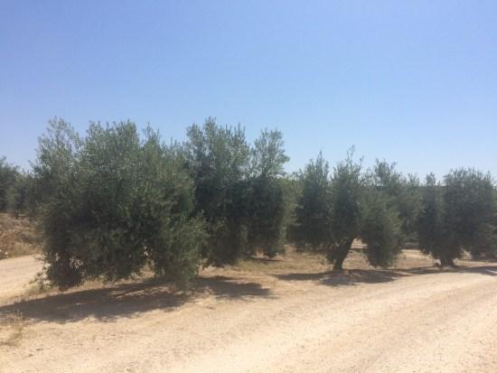 La escasez de lluvia recibida va a ocasionar, por lo tanto, una pérdida en la cosecha de aceituna.