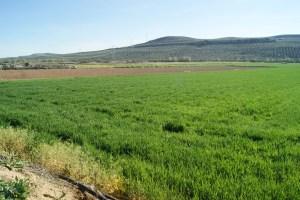 Campos de trigo en la Comarca de Andújar.