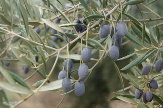 Un olivar en la Comarca de Andújar.