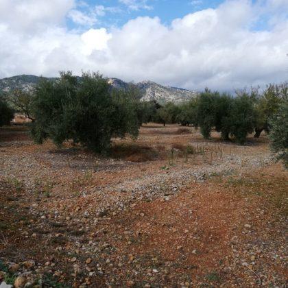 hectárea de olivar
