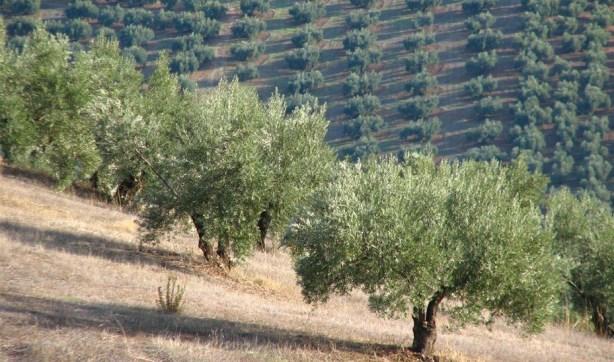 olivar de jaen