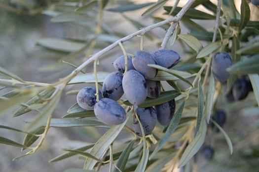 Arrancan los cursos y jornadas de Ifapa sobre olivar para el curso 2020-2021.