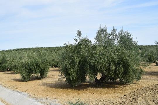 """COAG Jaén denuncia que la especulación en el sector del olivar es """"insostenible""""."""