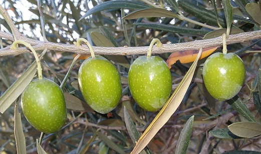 Ajuste a la baja del aforo inicial de aceite de oliva por la falta de lluvias y las altas temperaturas del otoño.