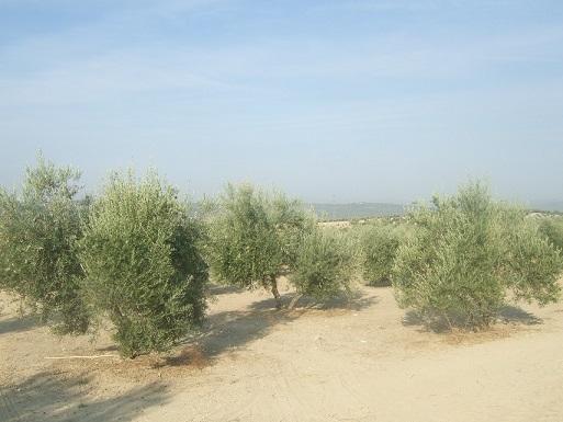 El sector agrario andaluz mantiene su convocatoria de movilizaciones en contra de la convergencia brusca de la PAC.
