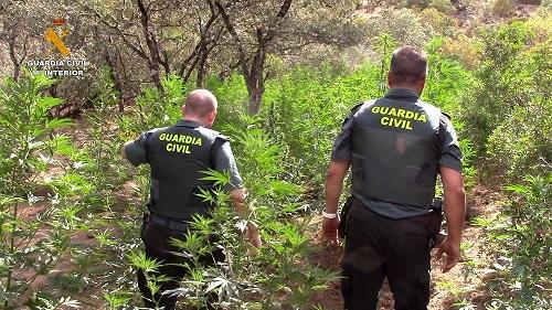 La Guardia Civil encuentra 1.060 plantas de marihuana ocultas en Sierra Morena.