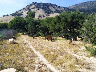 camping-aourir-gallery-goat-herd-among-argan-trees