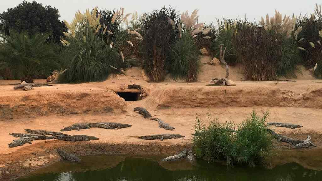 The Crocodylus Niloticus in the Crocpoarc Agadir