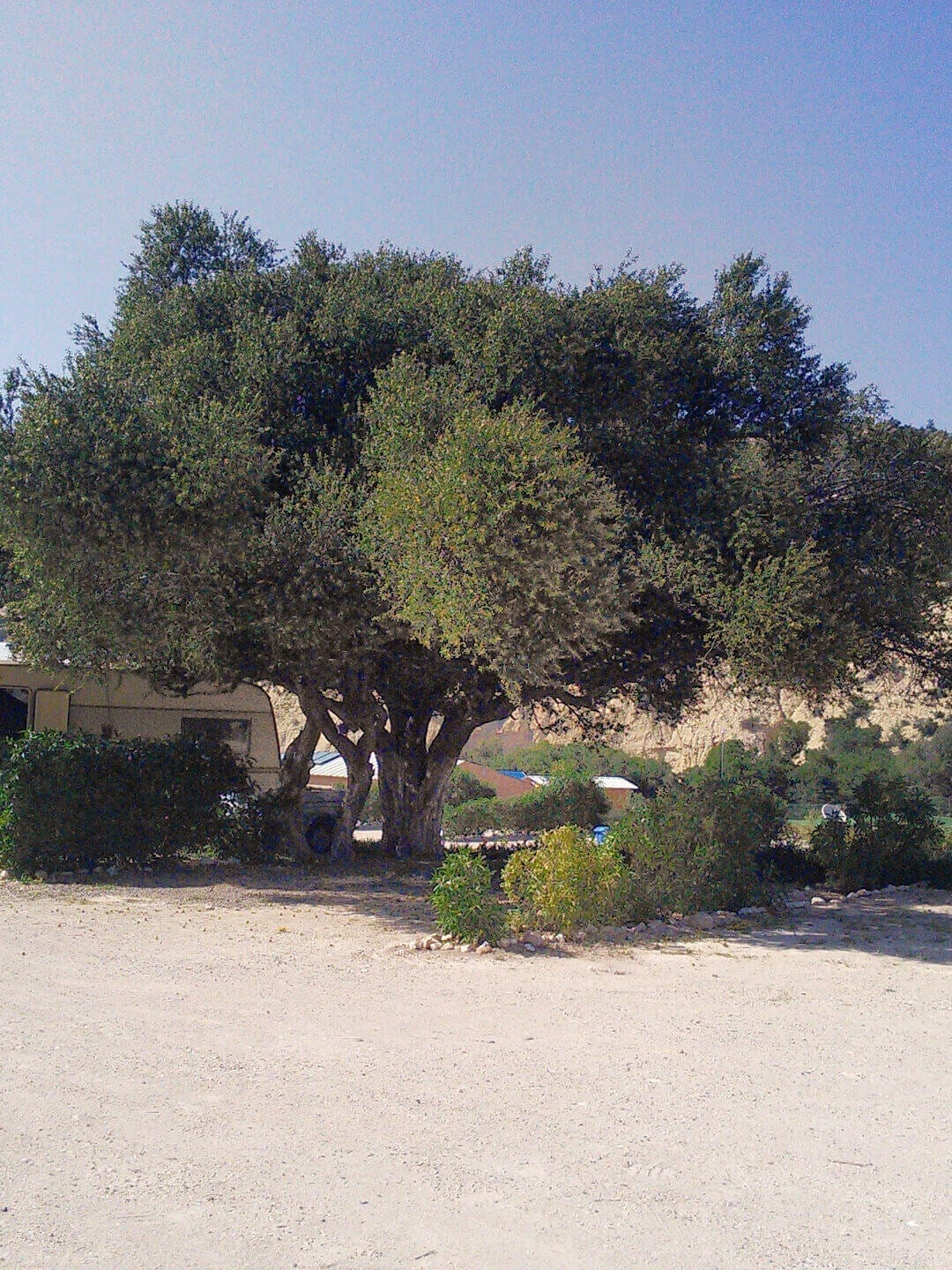 Camping Aourir – Camping Pitch at the Campsite in Aourir with an big Argan Tree