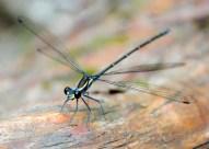 Common Flatwing (Austroargiolestes icteromelas)