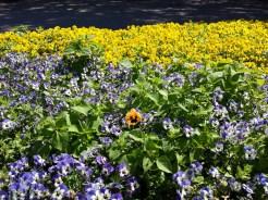 ca savio flowers
