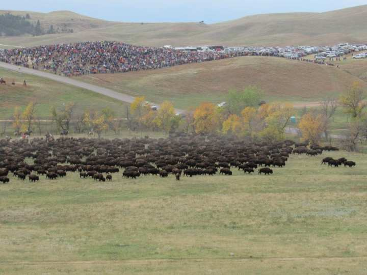 Custer State Park Buffalo Roundup 1