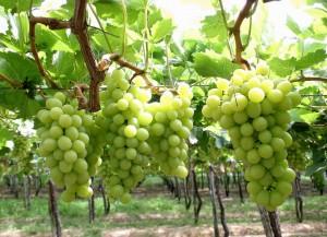 -uvas