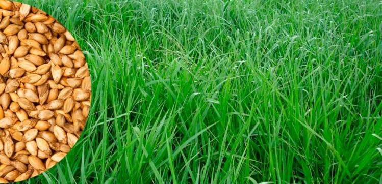 sementes-brachiaria-brs-piat-20-kg-safra-2018-D_NQ_NP_790992-MLB26549701531_122017-F