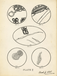 A page from a paper submitted by Frank J. Stahl, one of Beal's botany students in 1886. The paper includes elaborate illustrations comparing and contrasting cells of white ash, pine, and oak. Image courtesy of MSU Archives & Historical Collections