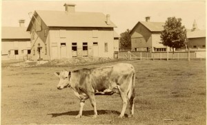 Cow in front of barns c. 1896. Image Source.