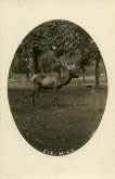 Elk in the deer park c. 1907. Image Source