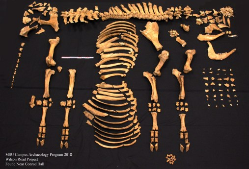 Image shows the skeletal elements of the cow recovered from the Wilson Road construction.
