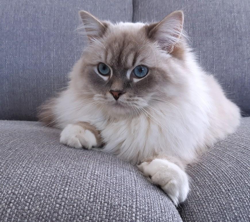 Olympe, chat Sibérien.