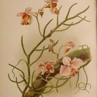Orchids in print: Reichenbachia