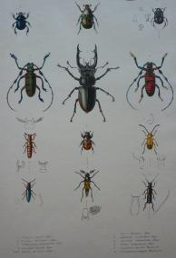 Beetles and earwigs from Royle's 1839 volume