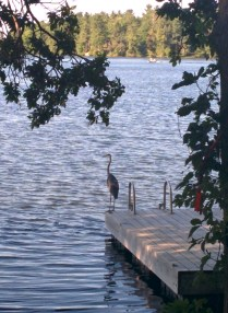 Heron on the dock