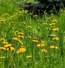Dandelion gold