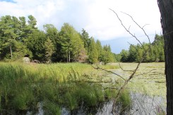Figure 5. Photo taken at Q5 showing cattails (Typhus angustifolia), water lilies (Nymphaea odorata), and white cedars (Thuja occidentalis) surrounding the wetland