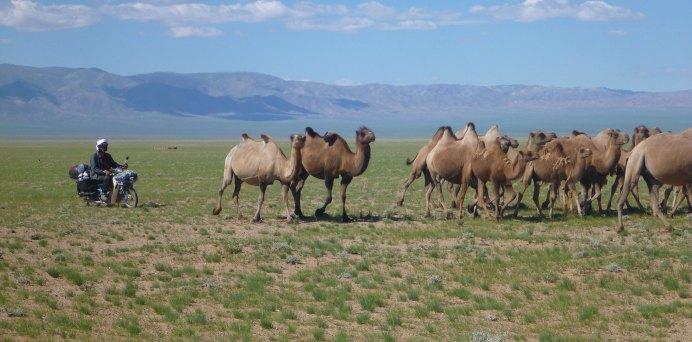 Mongolia_camels