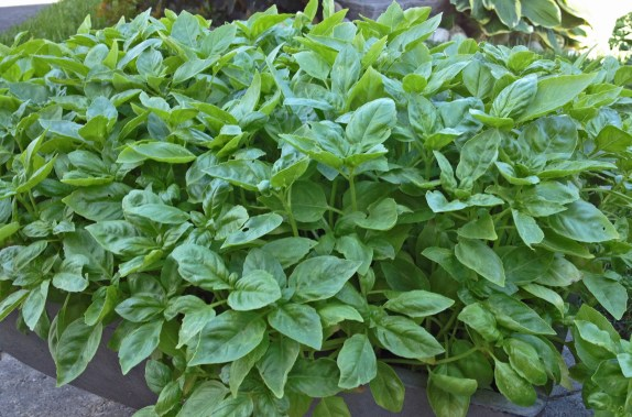 Basil repels mosquitoes