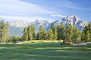 Elk grazing at Fairmont Jasper Park Lodge Golf Course
