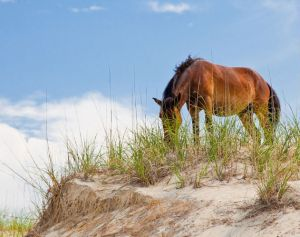 Outer Banks wild horses (Image: Outer Banks Visitors Bureau)